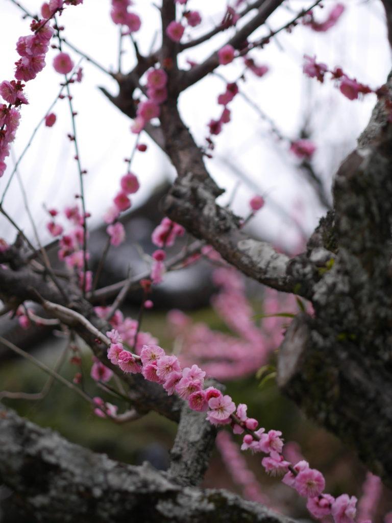 徳島の梅の名所